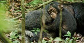 Chimpanzee movie review